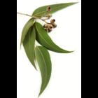 eukaliptusz